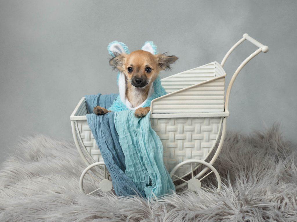 tiny dog in a pram dog photoshoot