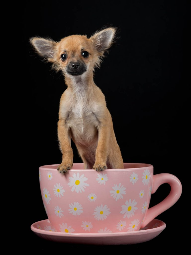 little dog in a teacup photo