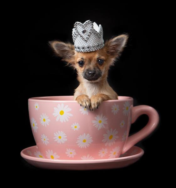 little princess dog in a teacup