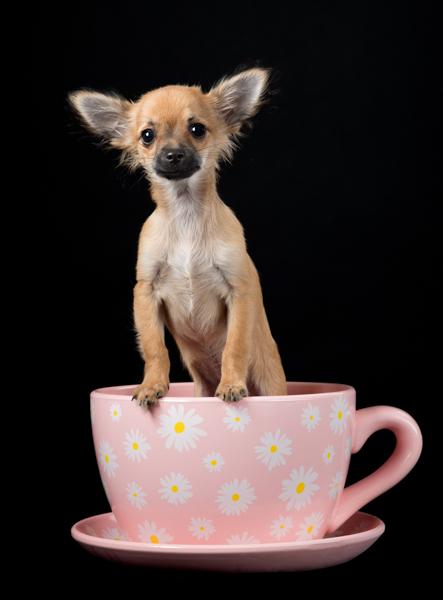 little cute dog in a teacup
