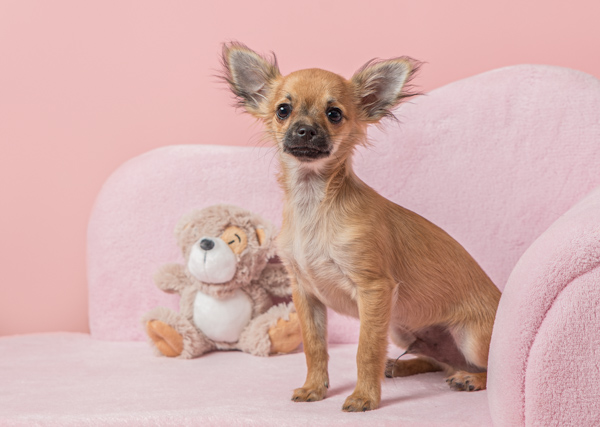 cute little dog on a pink chair