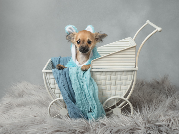 little cute dog in a bunny outfit in a pram
