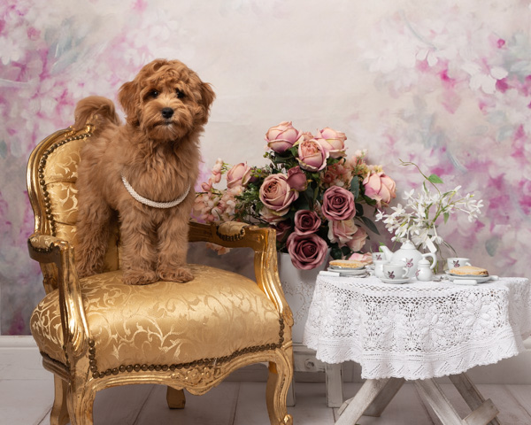 shaggy dog standing on a classic chair