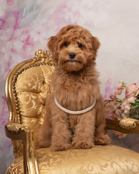 shaggy dog on a chair