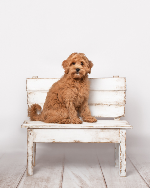 shaggy dog on a bench white background