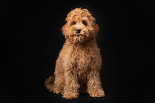 black background and a shaggy dog